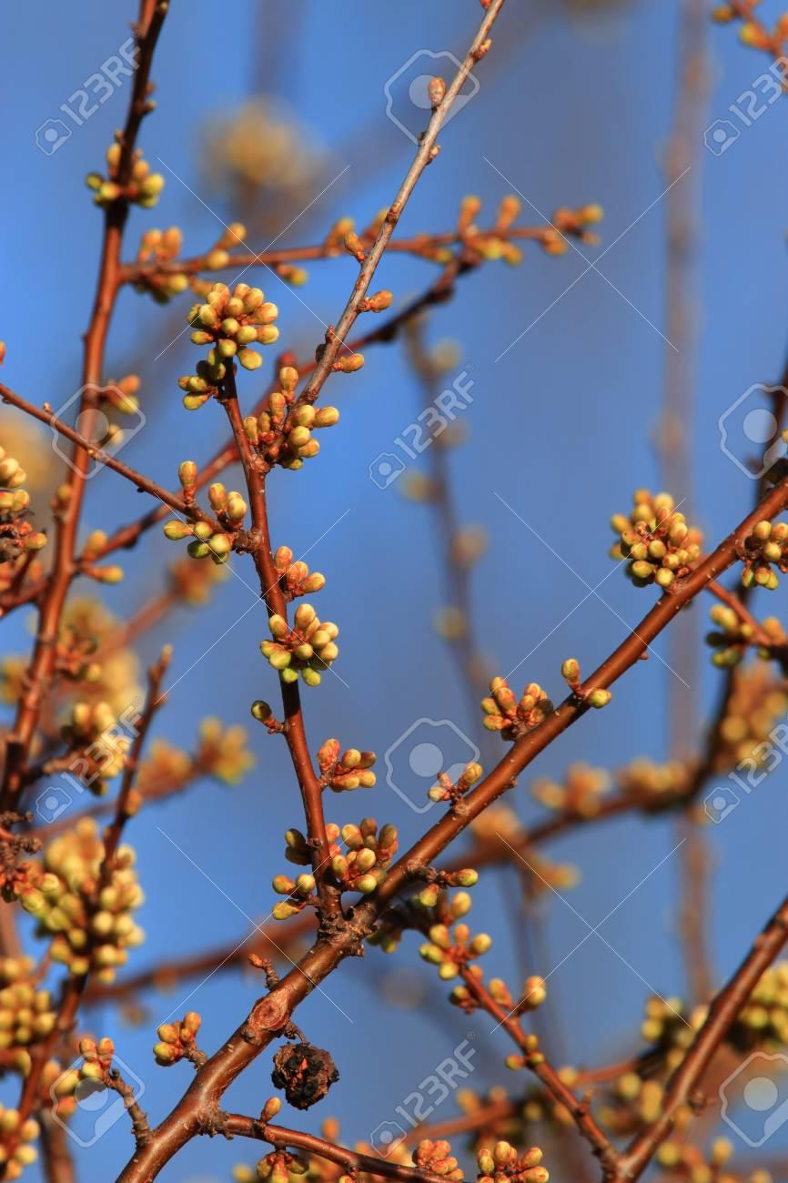 background of spring Buds of blackthorn or sloe, Prunus spinosa specie - 121965689