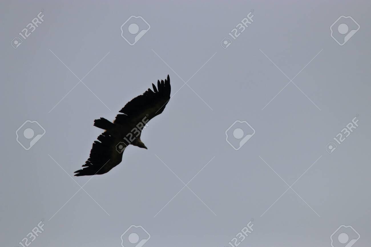 griffon vulture flight, gyps fulvus specie in Pyrenean sky - 132389150