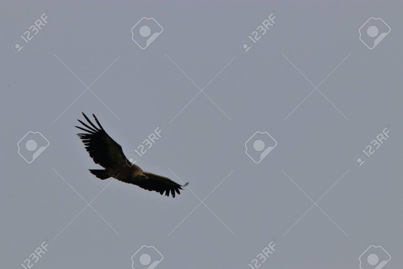 griffon vulture flight, gyps fulvus specie in Pyrenean sky - 132389224