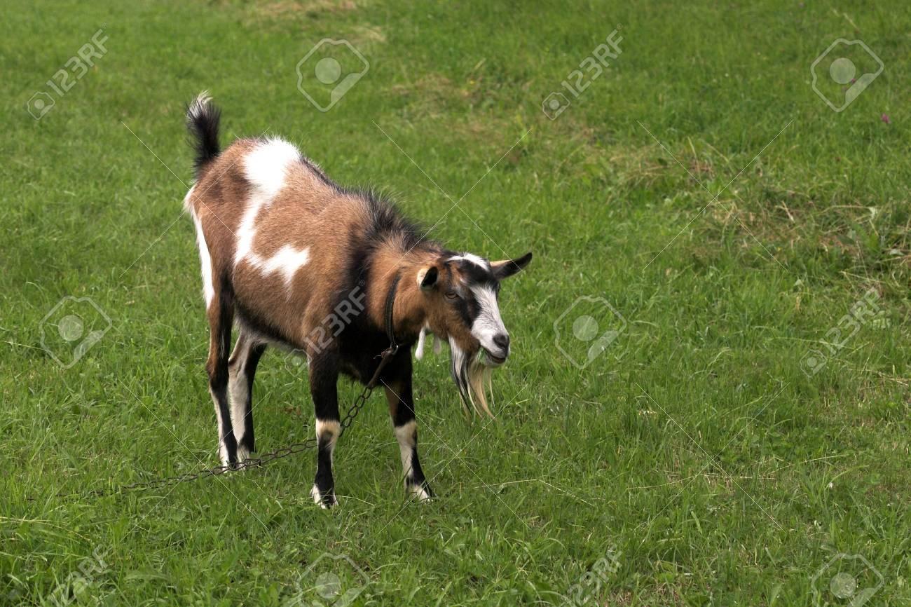 goat herding in the meadow Stock Photo - 16440150
