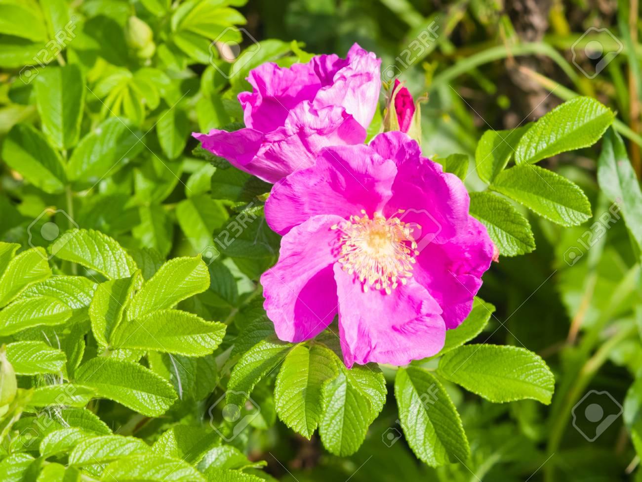 Macro De Fleur Rose Sauvage En Floraison Mise Au Point Selective