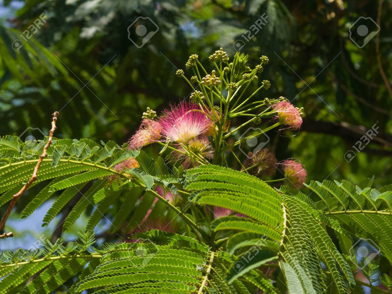 Flowers and buds on blooming persian silk tree albizia julibrissin flowers and buds on blooming persian silk tree albizia julibrissin with bokeh background mightylinksfo