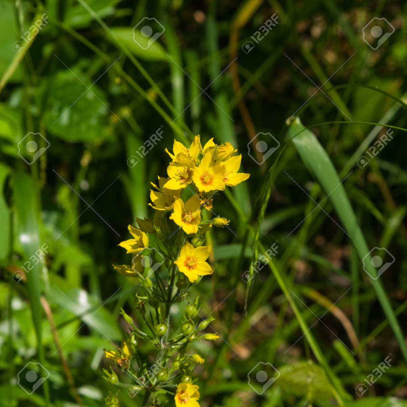 Garden or yellow loosestrife lysimachia vulgaris flowers close up garden or yellow loosestrife lysimachia vulgaris flowers close up selective focus mightylinksfo