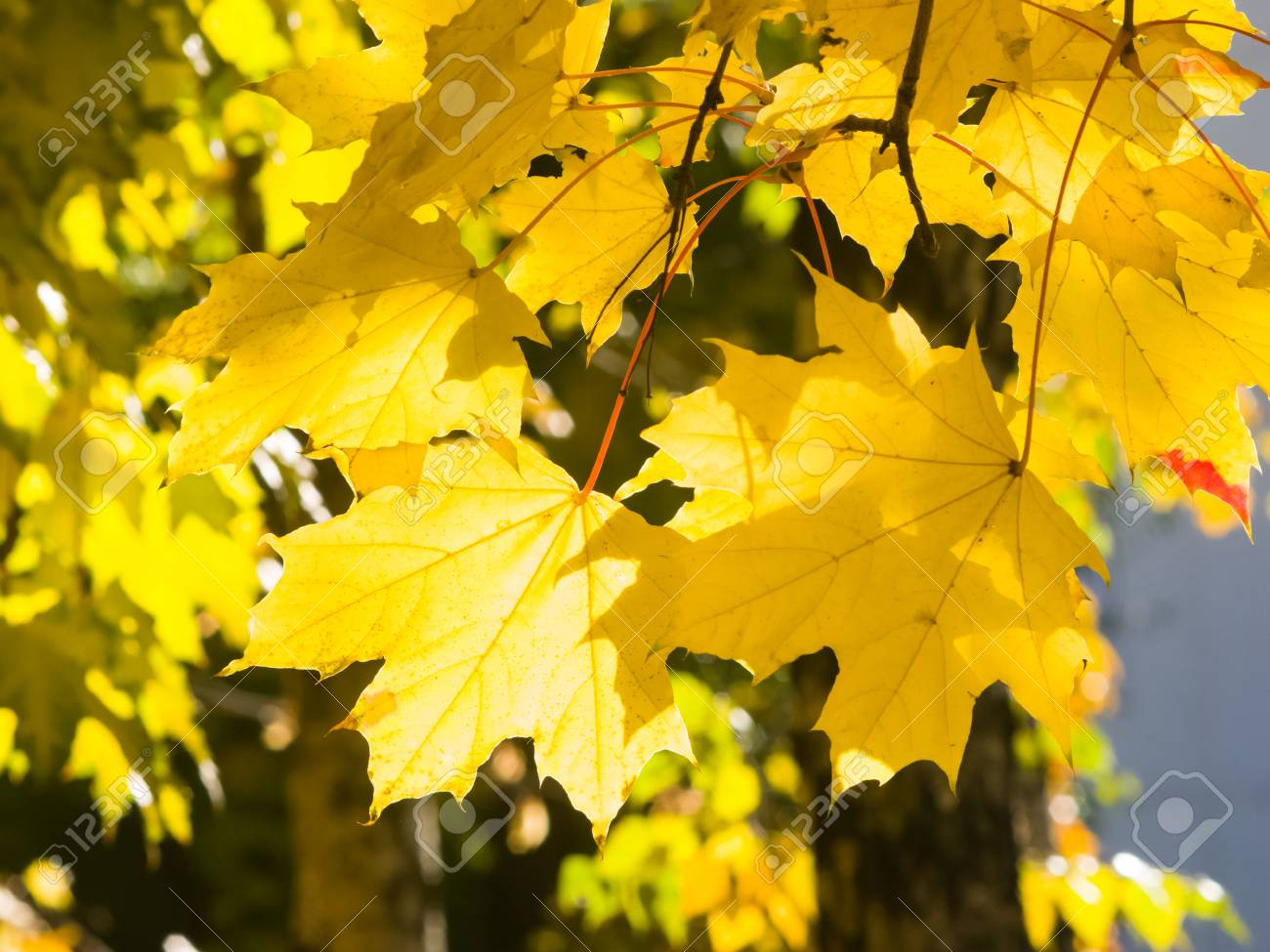 Leaves Of Norway Maple Or Acer Platanoides In Autumn Against Stock