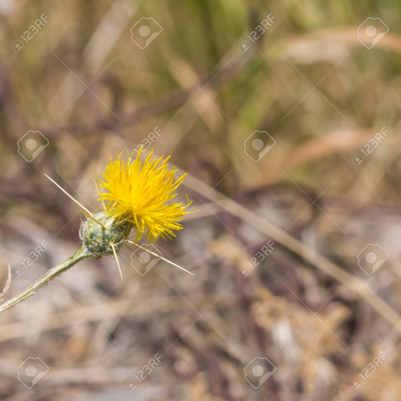 Yellow Star Thistle Or Centaurea Solstitialis Flower Macro