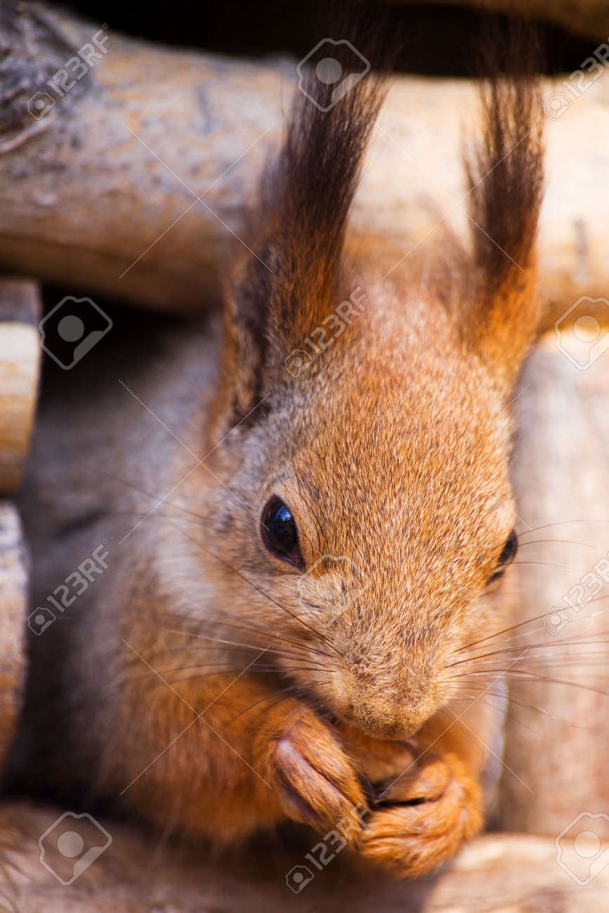 Portrait of a squirrel close up Stock Photo - 849829