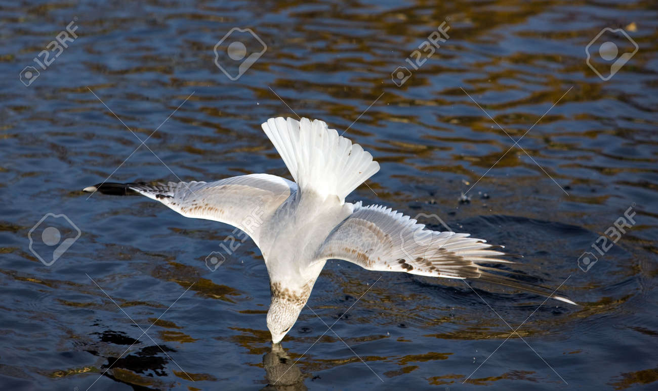 Seagull diving into water Stock Photo - 3738398