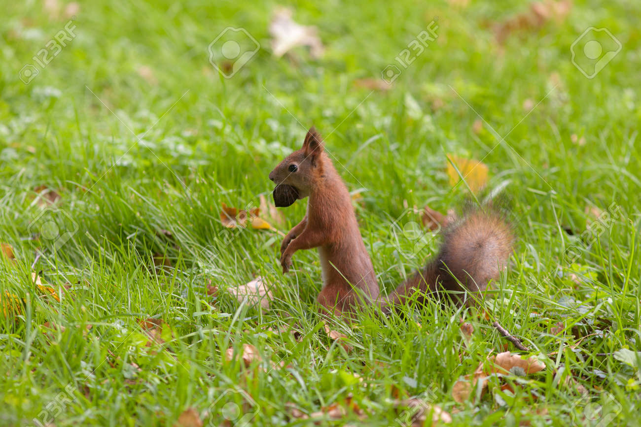 squirrel with a big nut among an autumn grass Stock Photo - 15353348