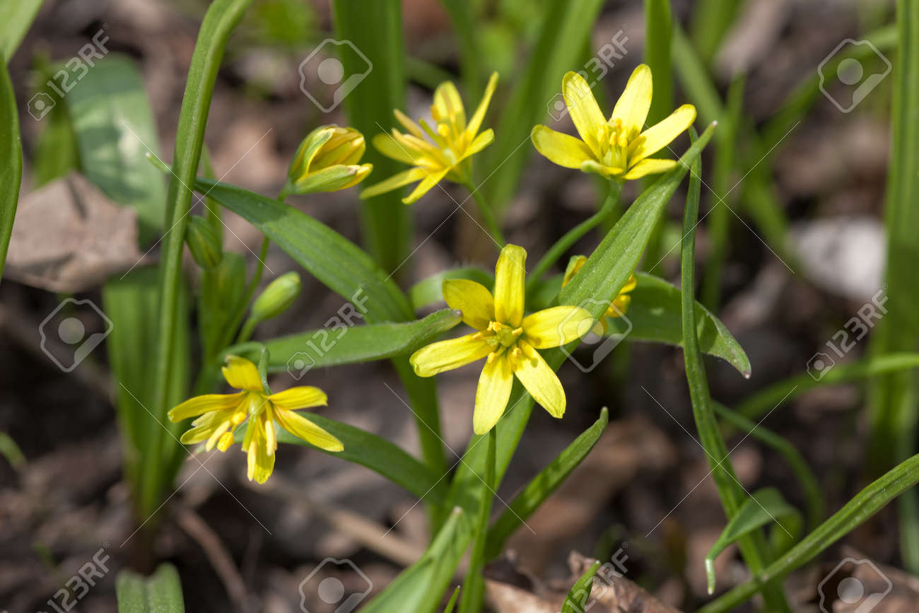 Small yellow spring flowers in the forest stock photo picture and small yellow spring flowers in the forest stock photo 18148452 mightylinksfo