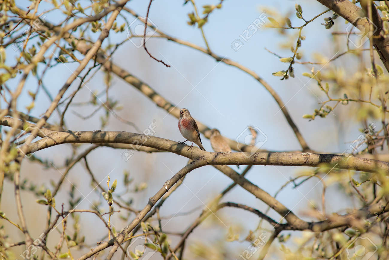 Linnet Sings A Spring Song In The Willow Branches Stock Photo   19079466