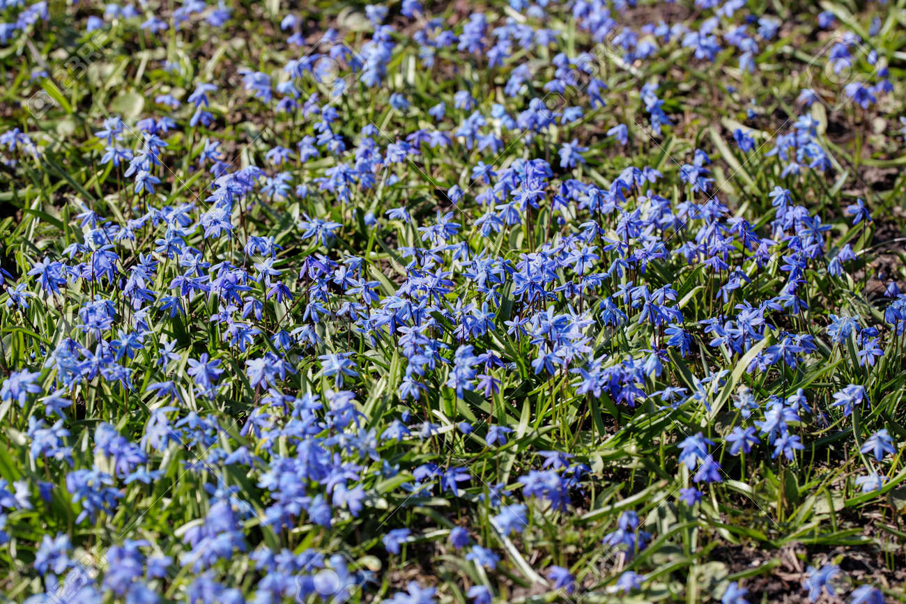 Lawn With Small Blue Flowers In Spring Stock Photo Picture And