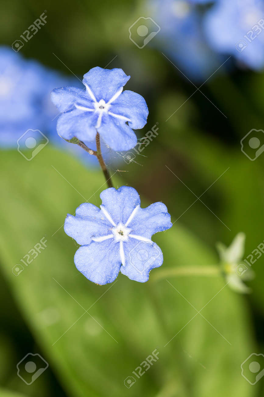 Small Blue Flowers In Spring Close Up Omphalodes Verna Stock Photo