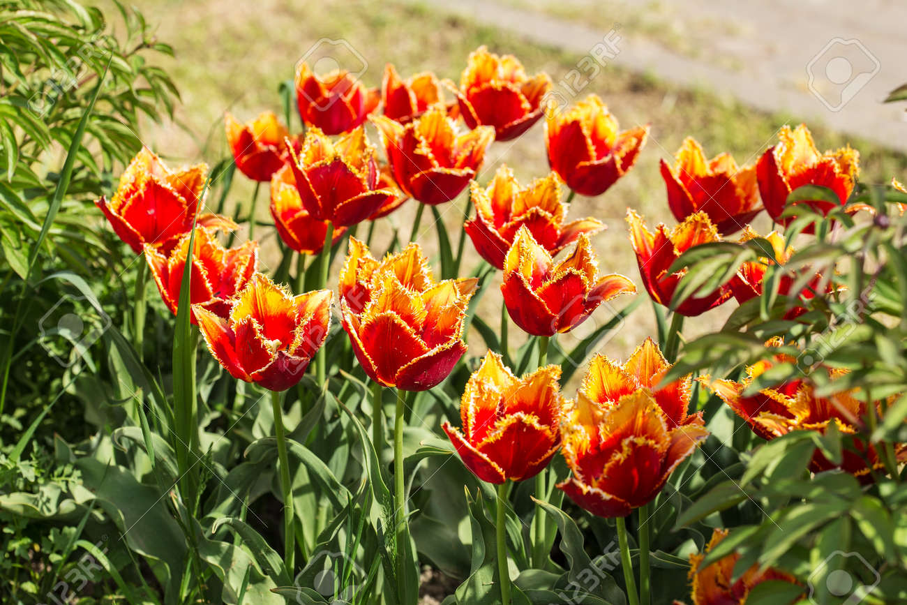 orange tulips in spring garden close up Stock Photo - 73559315