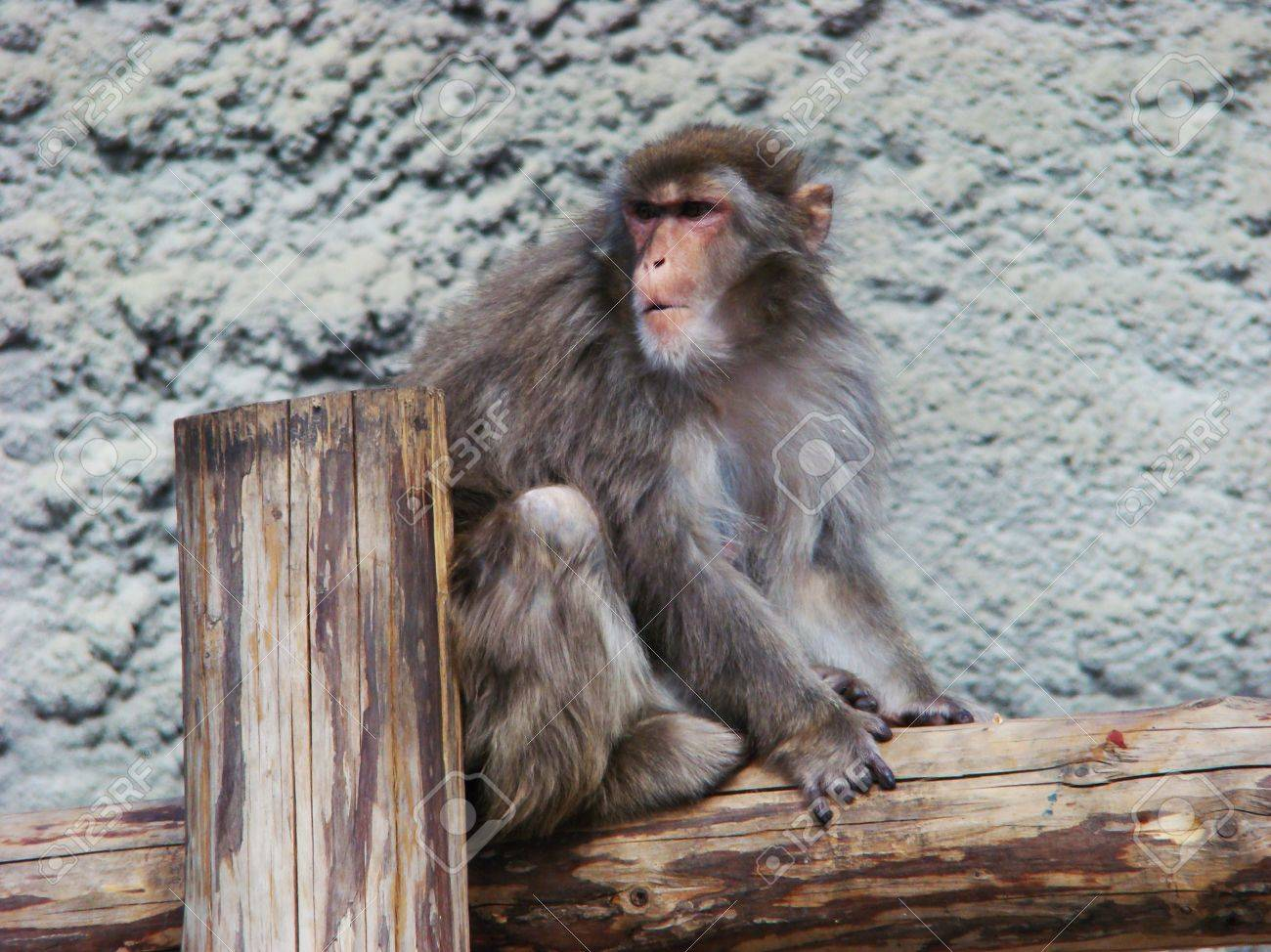 the japanese macaque gentle macaque snow monkey macaca fuscata