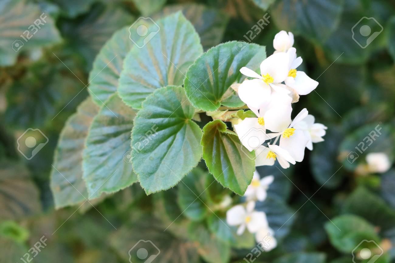 Begonia Dekorative Schöne Blühende Zimmerpflanzen Lizenzfreie Fotos