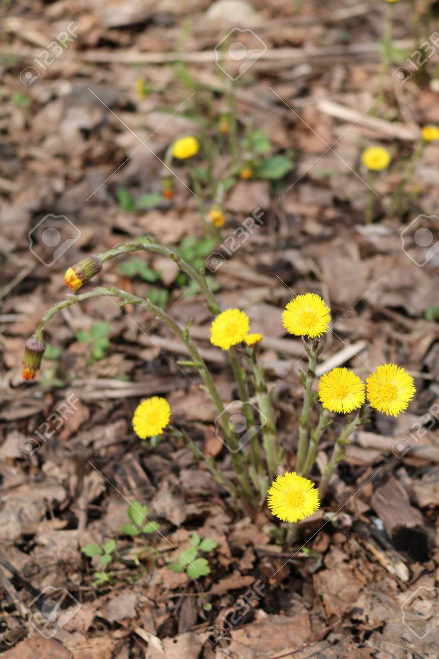 mother-and-stepmother (Tussilago) - spring flowering plants of the family  Astrological