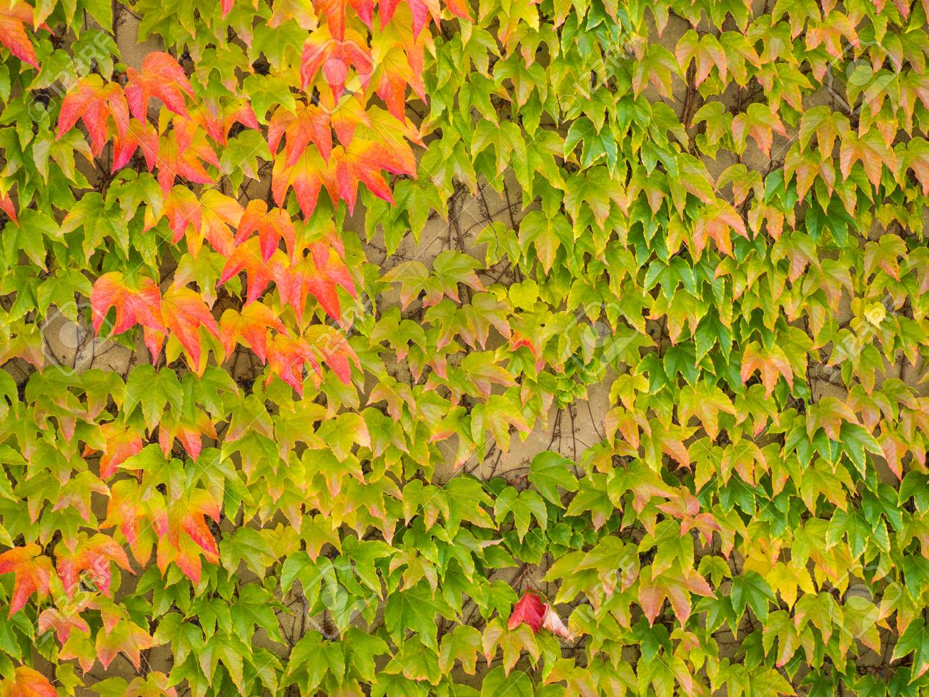 Autumn Leaves And Fall Colors. Climbing Plant On The Wall. Red ...