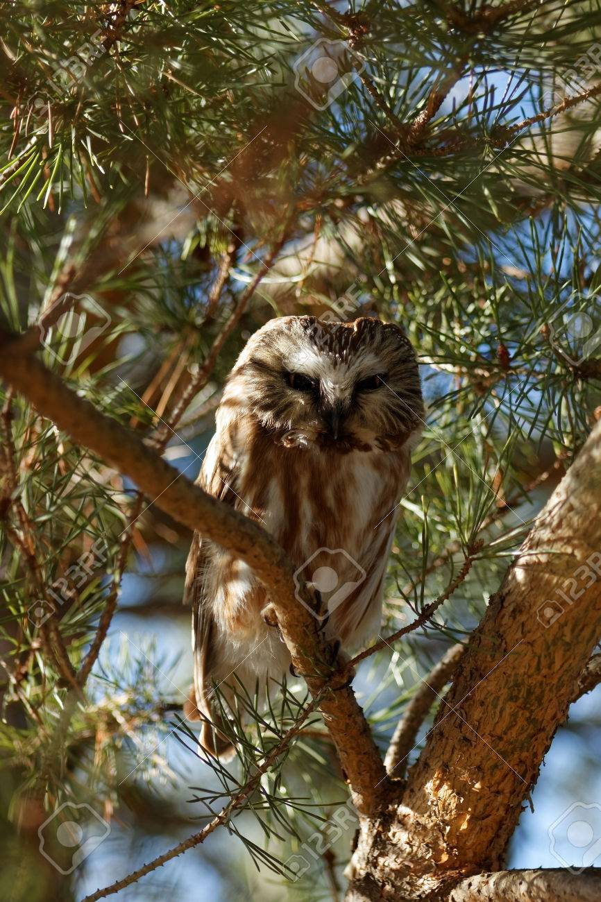 a curious northern saw whet owl is perched in an evergreen tree