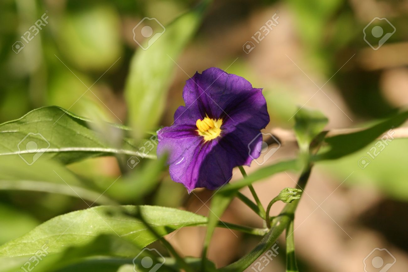 Close up of a purple flower blossom in a garden wide petal stock close up of a purple flower blossom in a garden wide petal yellow stamen mightylinksfo Choice Image