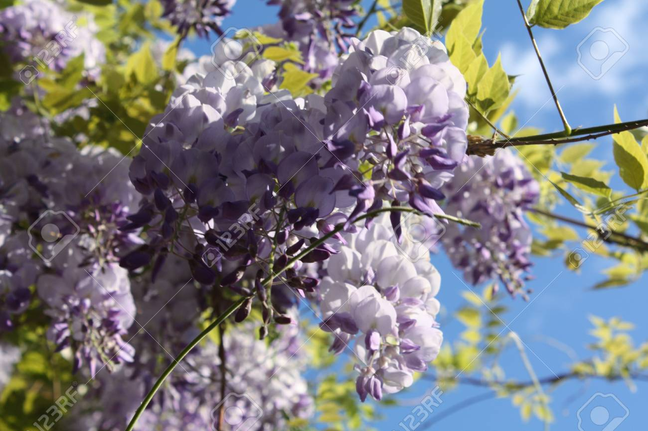 Wisteria Vine Stock Photo Picture And Royalty Free Image Image