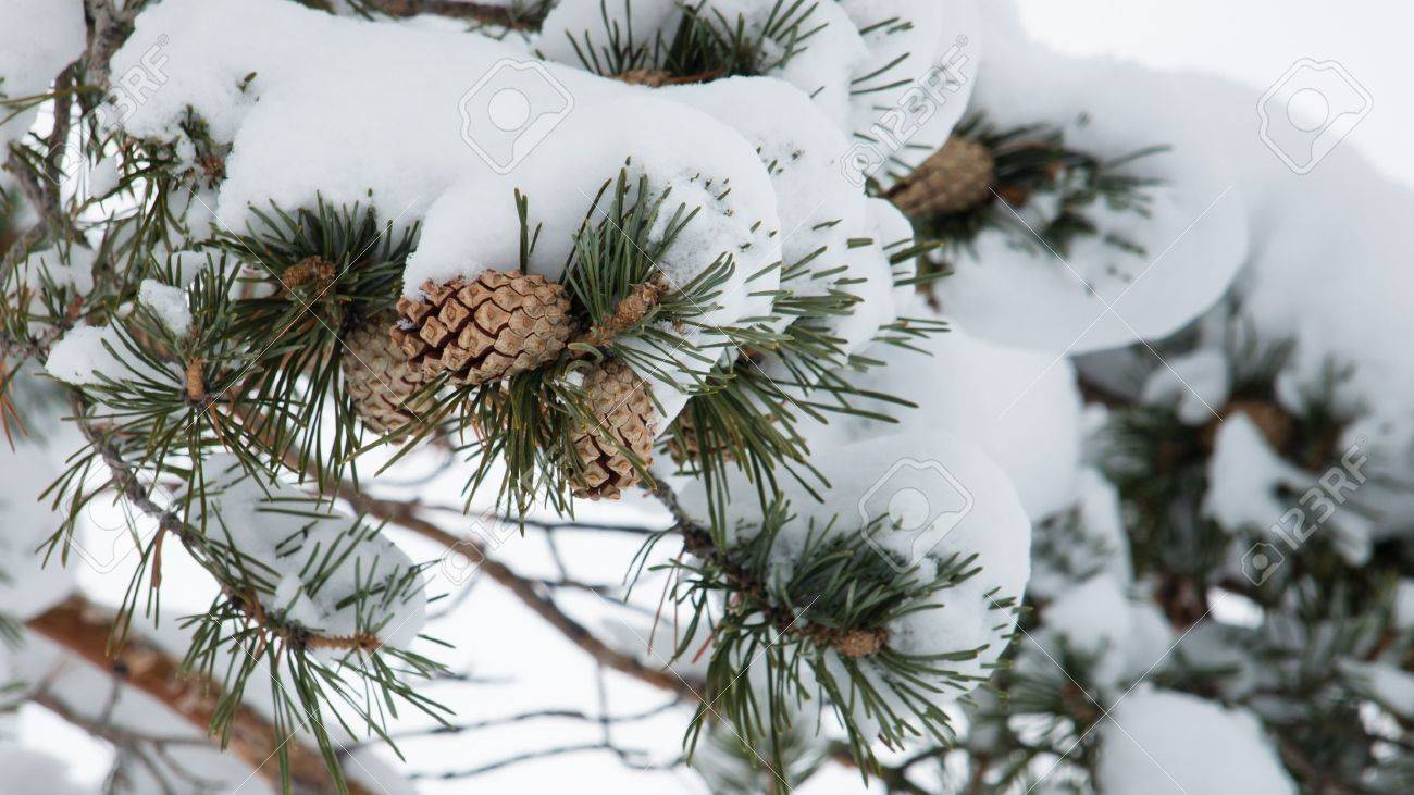 Close-up of pine cones hanging from a tree. Stock Photo - 8918289