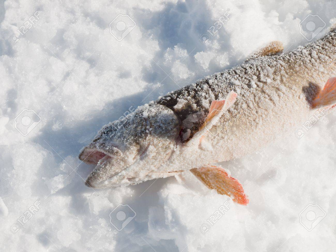 Freshly catched lake trout at Lake Granby, Colorado. Stock Photo - 8919171