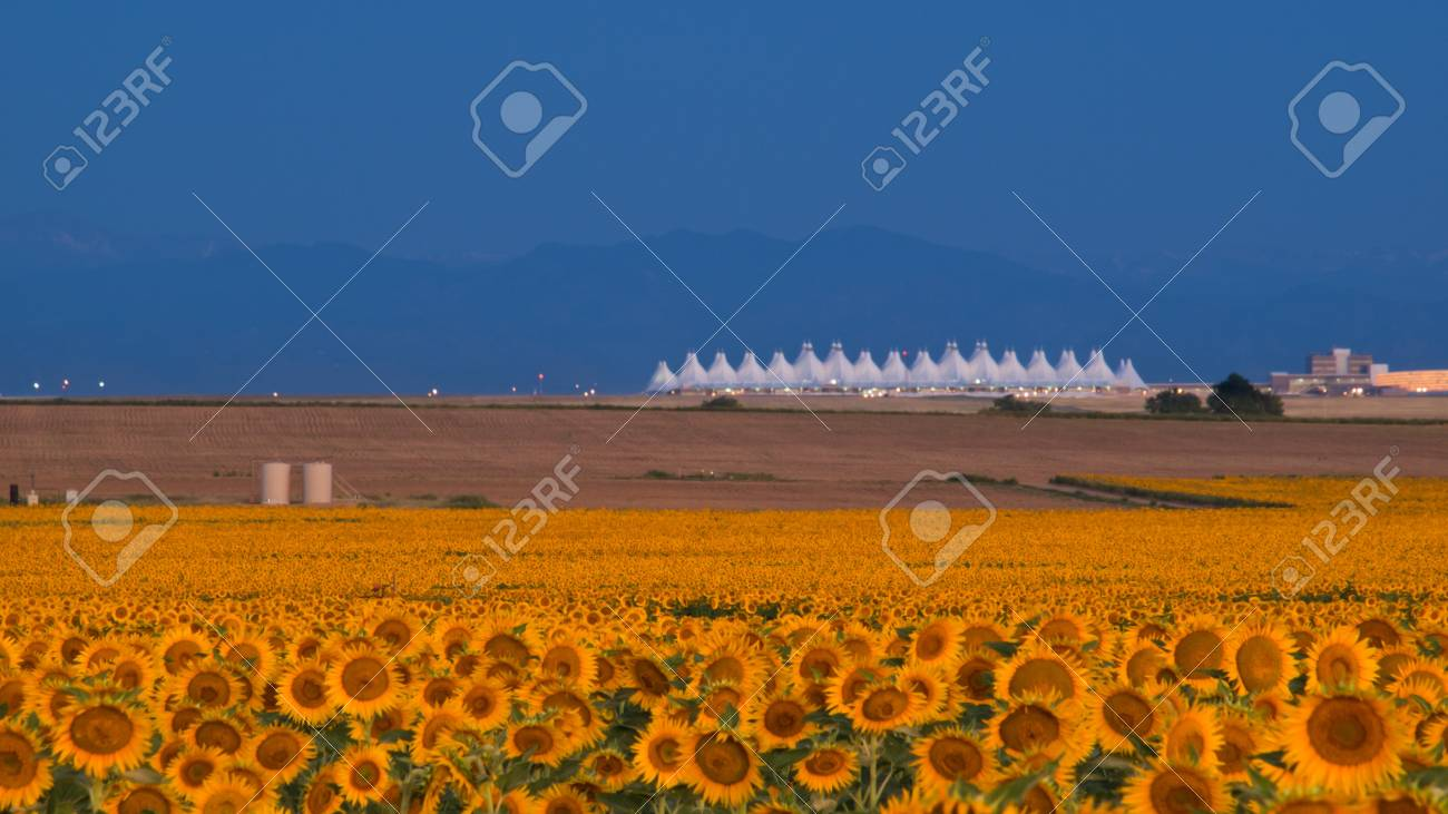 Sunflower field with Denver International Airport in the background. Stock Photo - 10336159