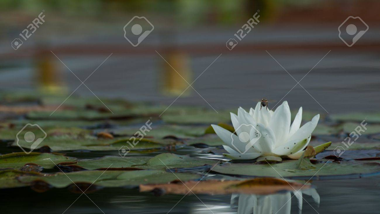 Nymphaea Hybrid White Water Lily Hardy Waterlilies With White