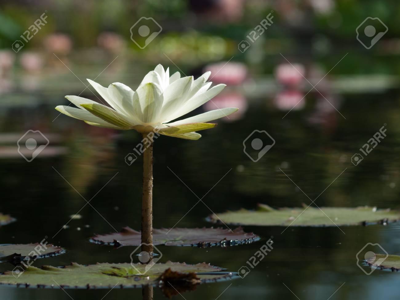 Nenuphar Innocence L Innocence Est Une Fleur De Lys Blanche