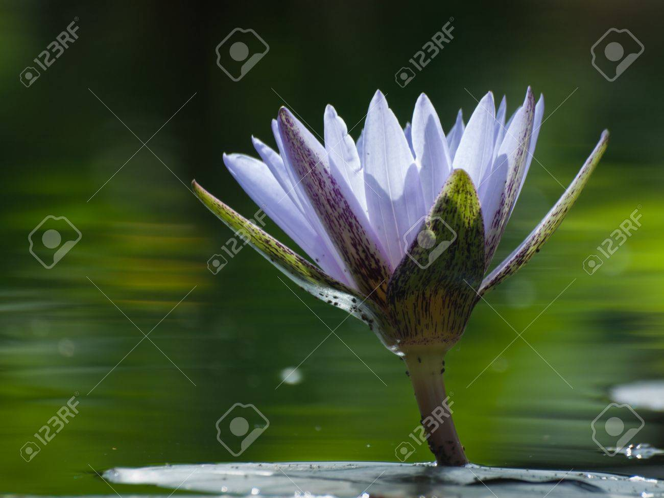 Water lily blossoming in the pond. N. 'Bill Frase' water lily. Stock Photo - 10497353