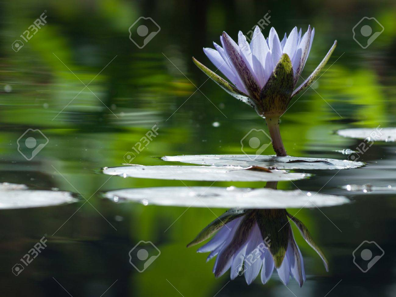 Water lily blossoming in the pond. N. 'Bill Frase' water lily. Stock Photo - 10497390
