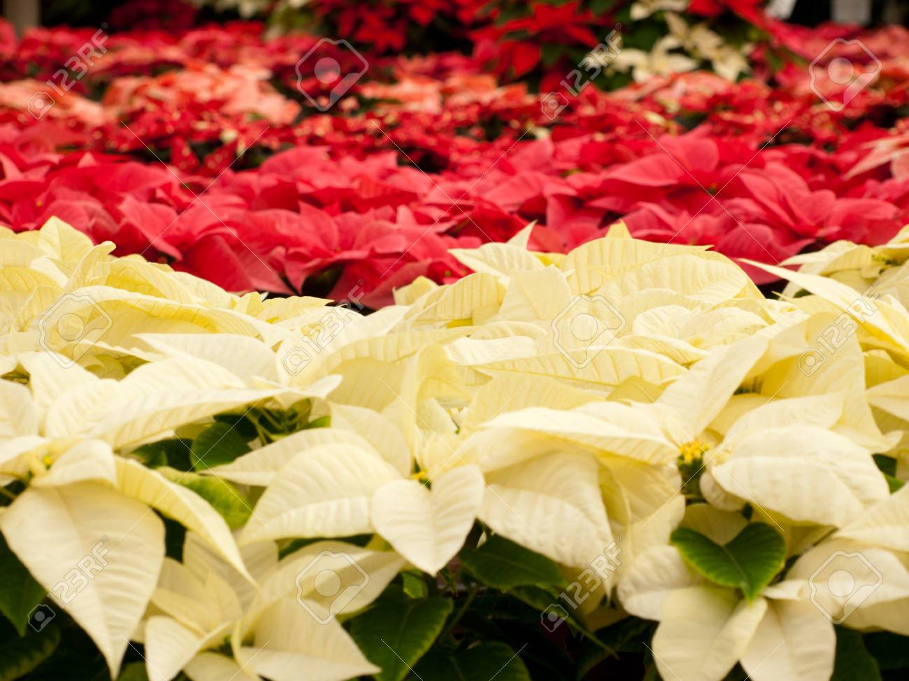 Rows Of Red And White Poinsettia Plants Being Grown At A Colorado