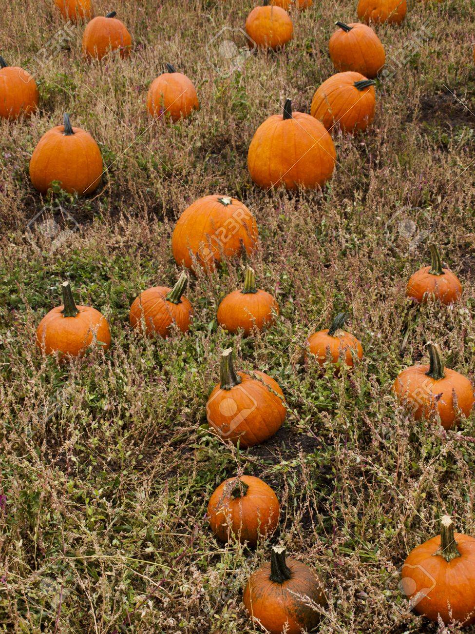 Pumpkins ready for harvesting on farm field in Autumn. Stock Photo -  15864874