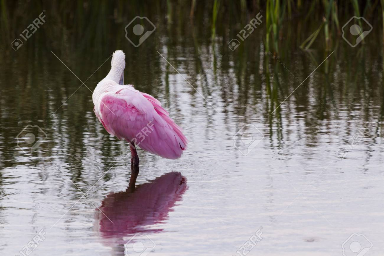 Roseate spoonhill in natural habitat on South Padre Island, TX. Stock Photo - 17198368