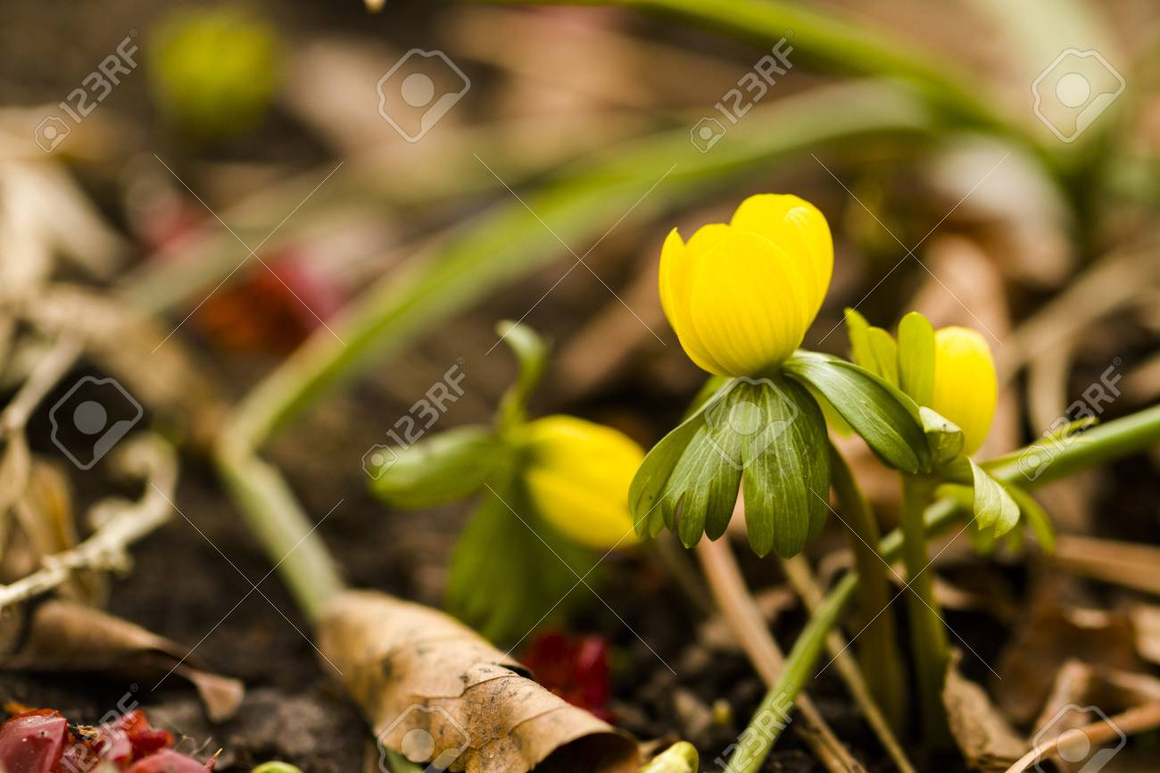 One Of The Earliest Spring Flowers To Emerge Out Of The Ground