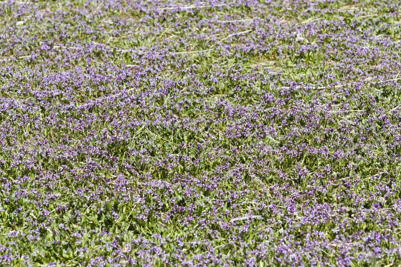 Spring Purple Groundcover Flowers In Full Bloom Stock Photo