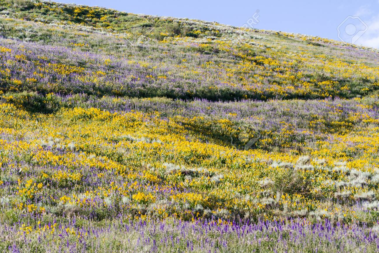 Yellow and blue wildflowers in full bloom in the mountains. Stock Photo - 21095455