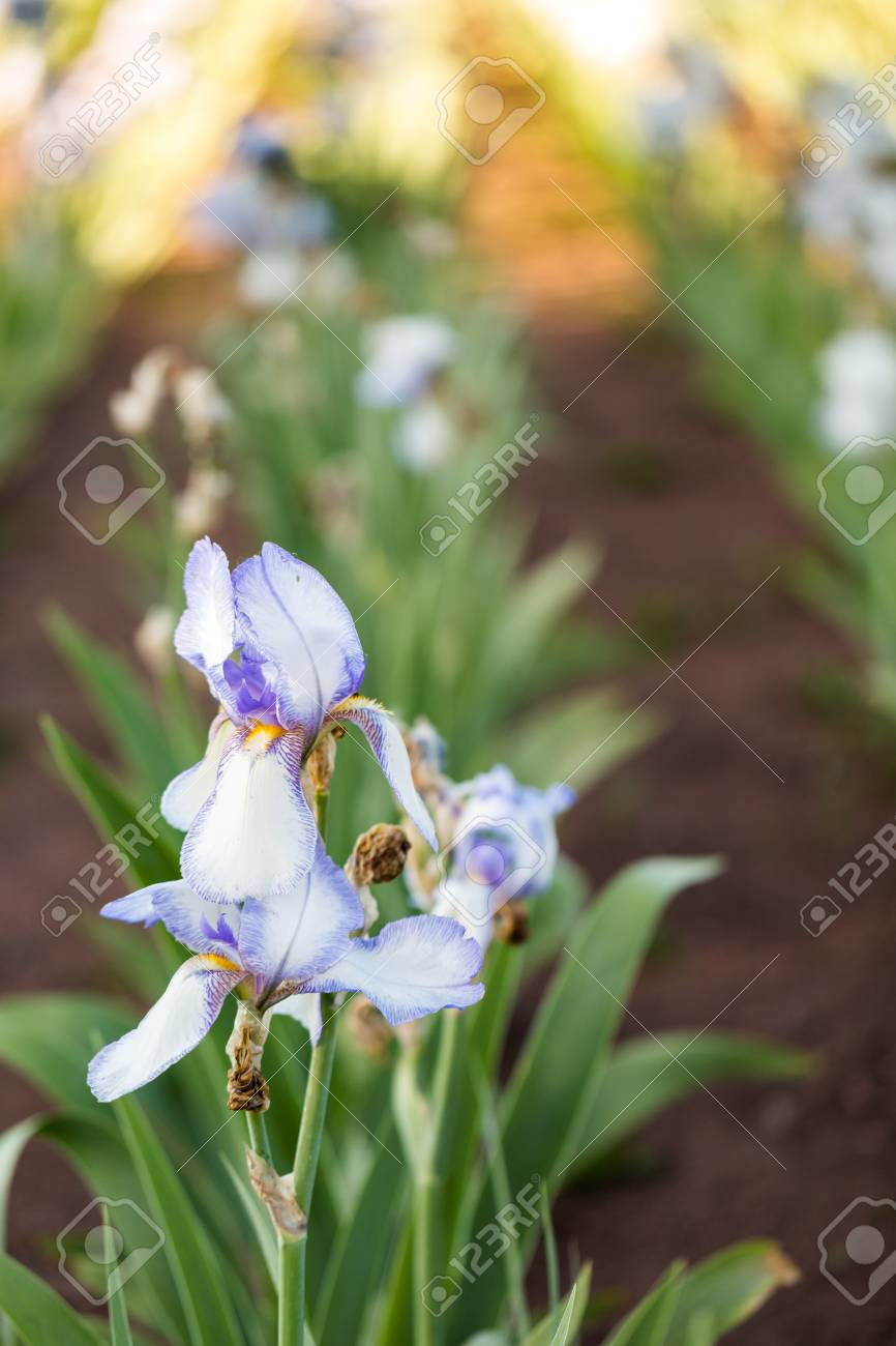 Different Colors Of Iris In Blooming Garden In Early June Stock