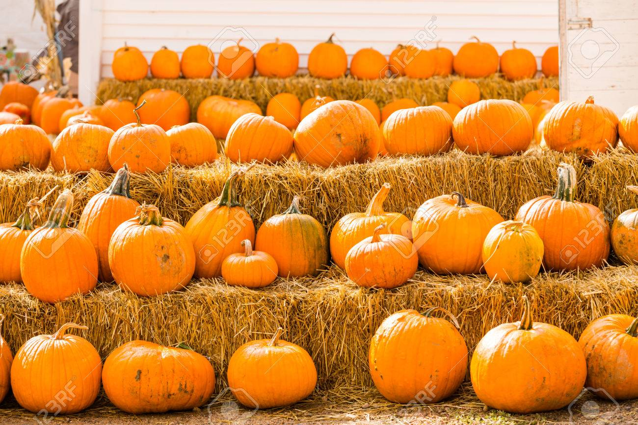 Pumpkin patch on sunny Autumn day. - 32523791