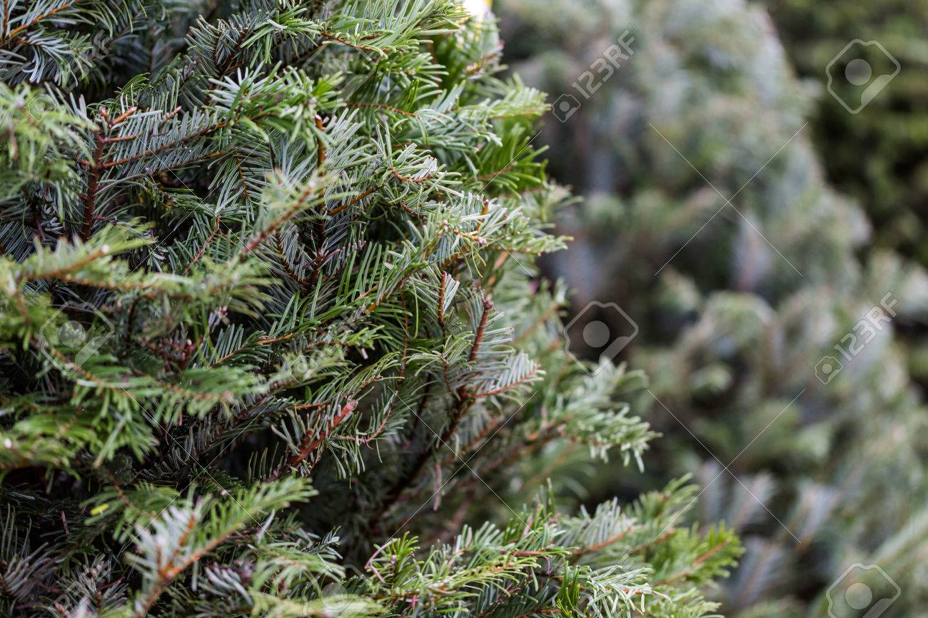 Beautiful Fresh Cut Christmas Trees At Christmas Tree Farm Stock Photo Picture And Royalty Free Image Image 34051086