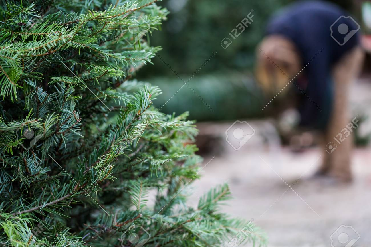 Fresh Cut Christmas Trees Near Me.Beautiful Fresh Cut Christmas Trees At Christmas Tree Farm