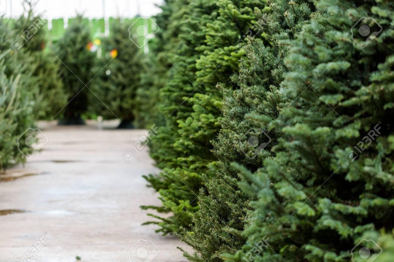 Beautiful fresh cut Christmas trees at Christmas tree farm. - 34051185