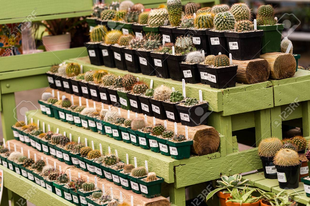 Denver Colorado USA February 3 2015 Row Of Miniature Cactuses