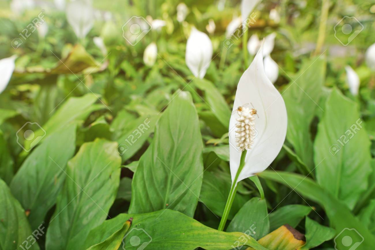 Top View Peace Lily Flower As A Background White Flowers On Stock