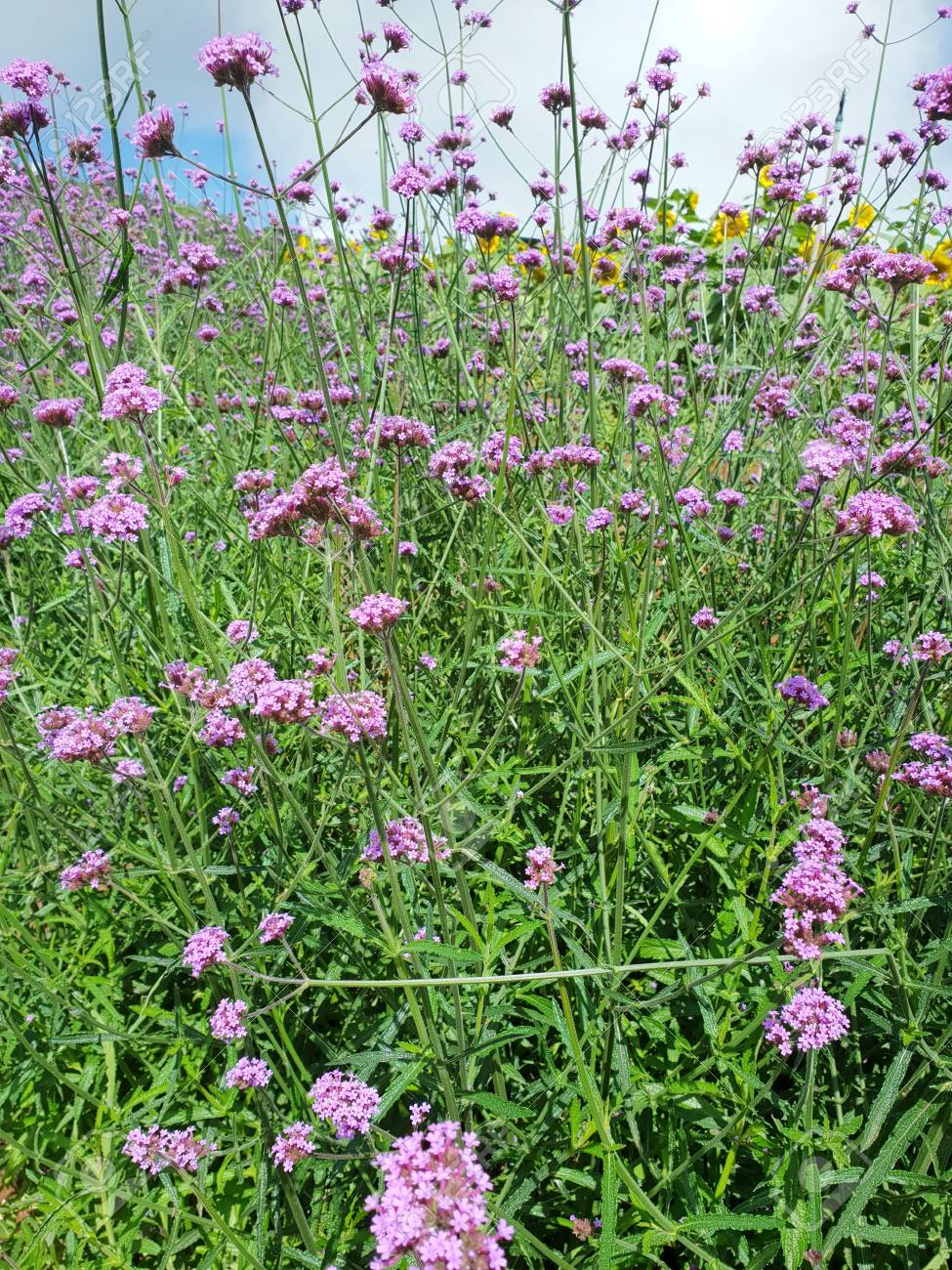 Pink flowers in the garden, Verbena flower as a background, Vertical..