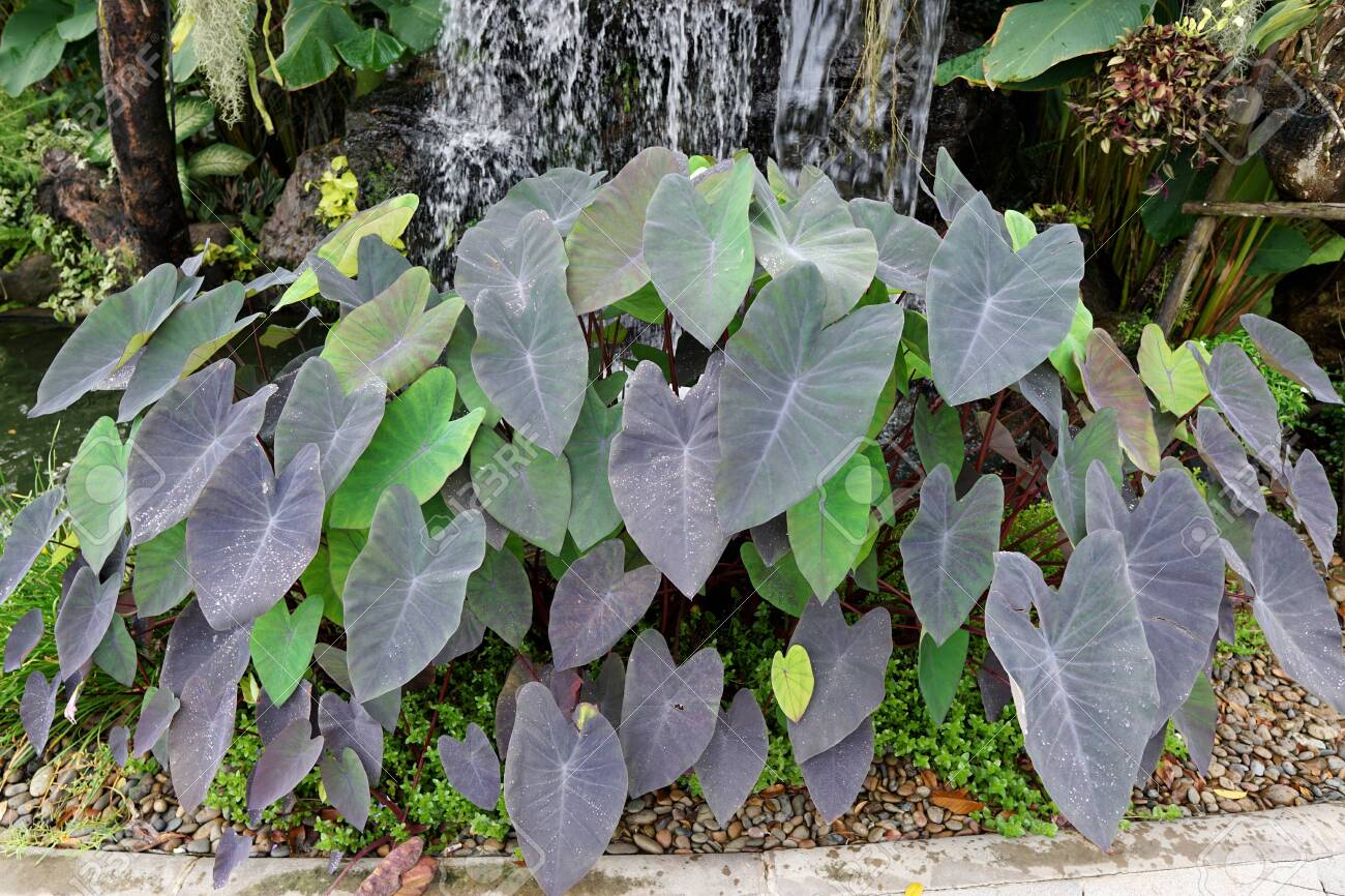 Colocasia Esculenta Plant Or Elephant Ear Plant With Waterfall