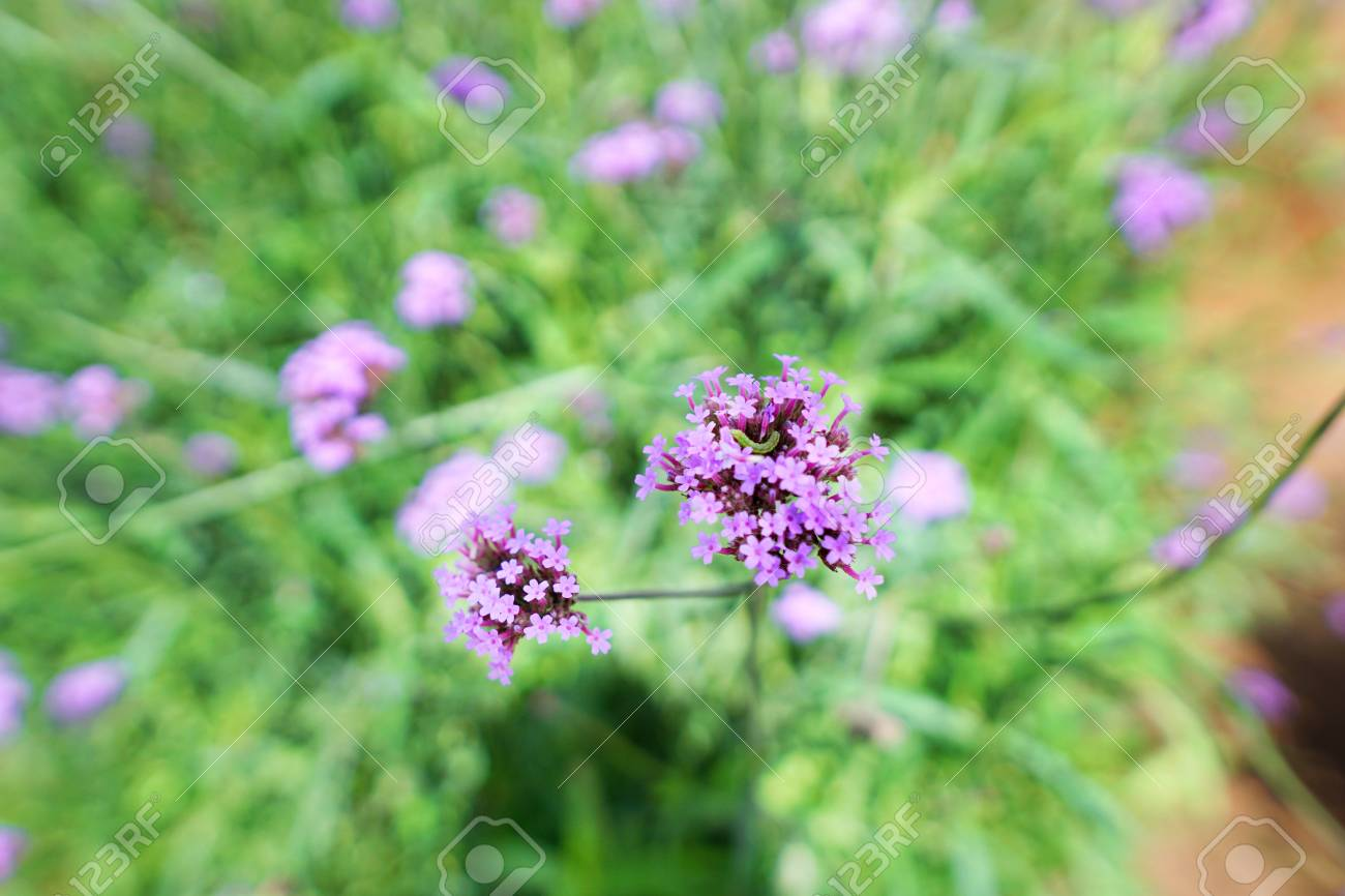 Soft focus of purple flowers in the garden, Verbena flower on..