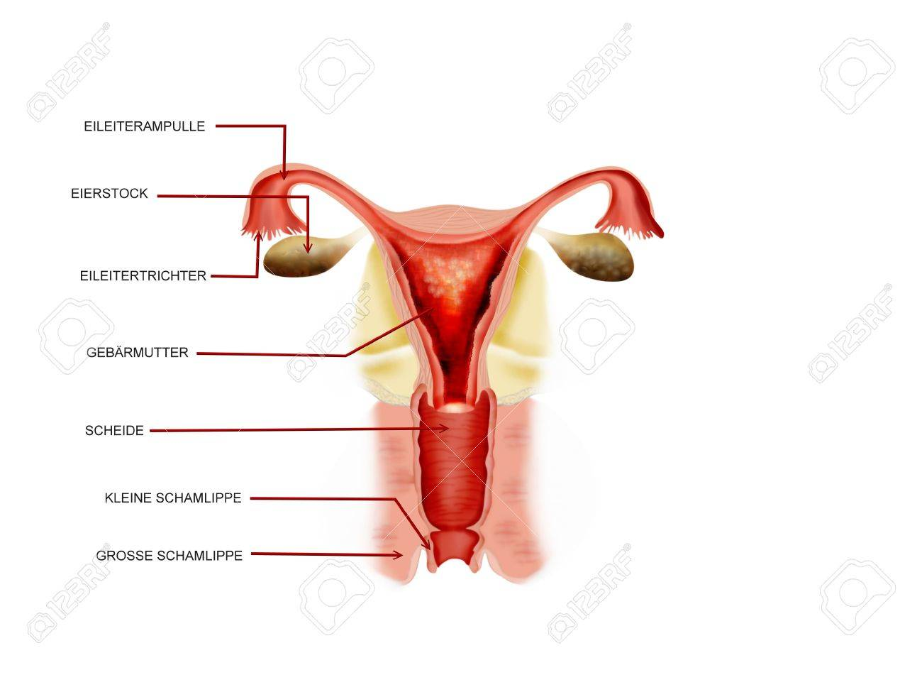Female Reproductive Organ Stock Photo, Picture And Royalty Free ...