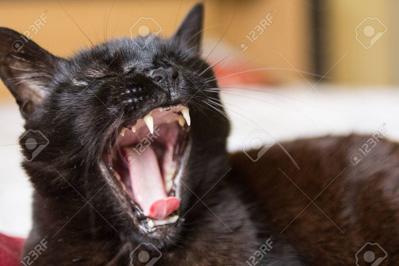 Black Cat Yawning Stock Photo Picture And Royalty Free Image Image