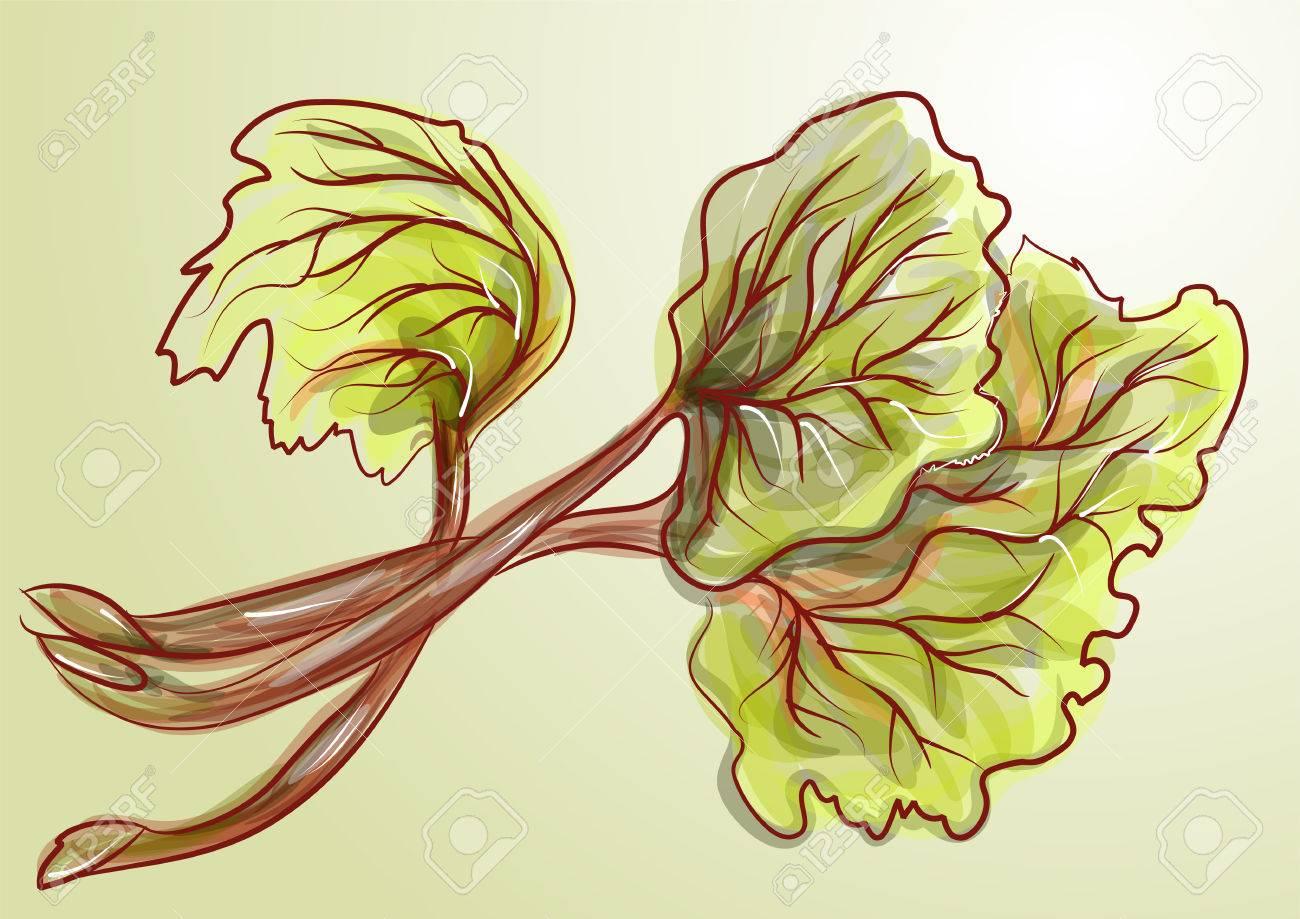 rhubarb. Bunch of fresh plant. - 67175721